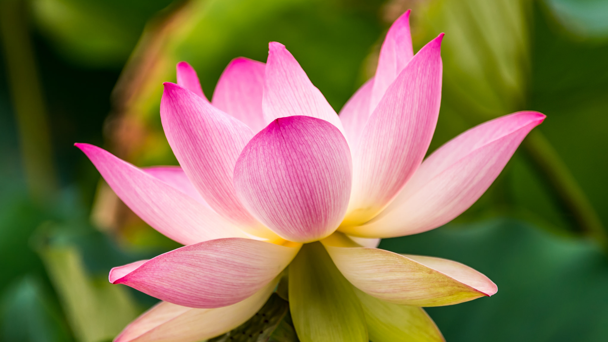 The Lotus Giant for Google+